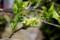 挿し木を試す、「白花ライラック(ハシドイ?)」(29.4.22)