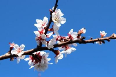 「アンズ(杏)」の花が、青空に映えて…。(29.4.23)