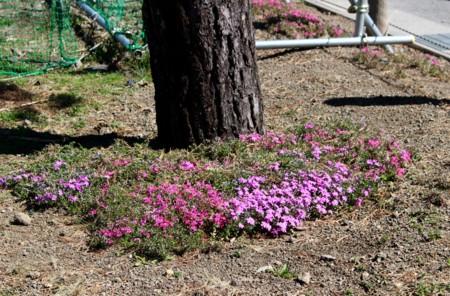 リギダマツの周りを囲む「シバザクラ(芝桜)」の花。(29.4.24)