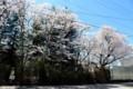 岩村田小学校、今年で見納め、土塁に立つ「桜」。(29.4.23)