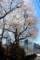 「エドヒガン」の大木に、近寄って…。(29.4.23)