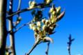 初めての花・蕾が膨らんだ「賢治ゆかり・石鳥谷のやまなし」。(29.4.23)