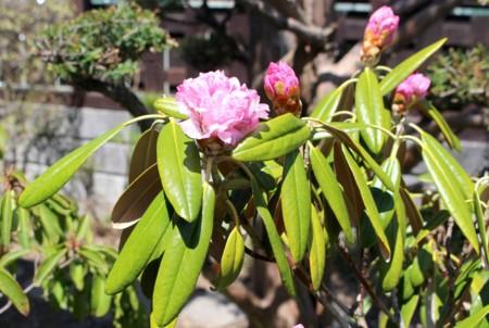 一気に膨らんだ「東石楠花」の蕾。(29.4.25)