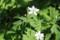 「二輪草」、名の由来。(29.4.24)
