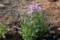 こぼれ種で芽生え、一番に咲いた「ショカツサイ(諸葛菜)」(29.4.25)