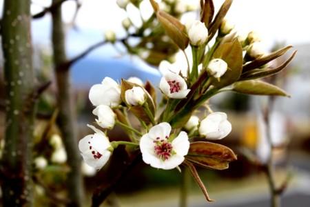 初めての花、「賢治ゆかり・石鳥谷のやまなし」(29.4.26)