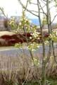 咲き始めた、「賢治ゆかり・石鳥谷のやまなし」(29.4.26)