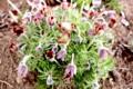 花が終わり結実し始めた「オキナグサ(翁草)」の花。(29.4.26)