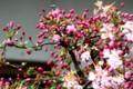 桜が散り、「ハナカイドウ(花海棠)」が咲き始め。(29.4.27)