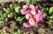 陽溜まりには、「アカザ(藜)」が芽生えて…。(29.4.28)