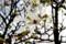 「コブシ(辛夷)」の花。(29.4.26)