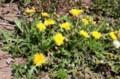 黄色の「在来種・タンポポ」の花が賑やかに。(29.4.30)