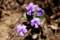 こちらは、種名が分からない菫。(29.4.30)