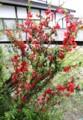 フェンスに咲く、「ボケ(木瓜)」の花。(29,5,1)