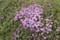 1週間遅れで、咲き出した「イブキジャコウソウ(伊吹麝香草)」。(29