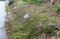 1週間遅れで咲き出した「イブキジャコウソウ(伊吹麝香草)」829.5.1)