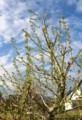 賢治ガーデン、シンボルの「ギンドロ」が葉を展開…。(29.5.4)