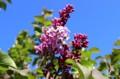 青空に、「ライラック」の紫色が映えて…。(29.5.5)(7:07)