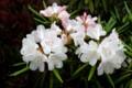 お気に入りの「赤星・石楠花」が咲いて…。(29.5.6)