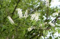 用水わきの林に、「ウワミズザクラ」の白い花が…。(29.5.6)