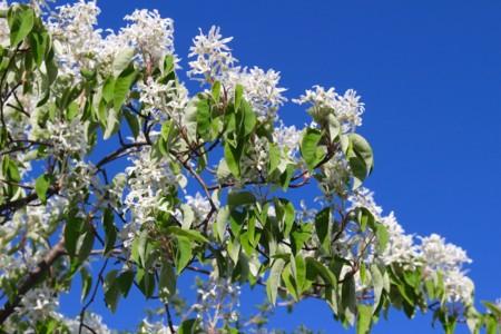 青空に、「ザイフリボク・シデザクラ」の白い花が映える。(29.5.7)