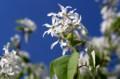 近寄って観る「ザイフリボク・シデザクラ」の花。829.5.7)