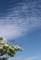 見事なコラボ、「白い花」と「白い雲」(29.5.7)