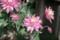 菊咲の「オダマキ(苧環)」の花。(29.5.7)