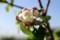 花が綻び始めた「ニュートンのリンゴの木」。(29.5.8)