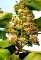 開き始めた、「トチ(栃)」の花。(29.5.8)