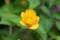 公園に植栽する「ヤエヤマブキ(八重山吹)」(29.5.9)