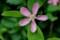 面揃い、「カリン(花梨)」の花。(29.5.9)