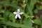 清楚で、ネーミングがお気に入り、「タガソデソウ(誰袖草)」の花。