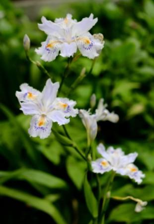 早くも咲いた「シャガ(射干)」の花。(29.5.10)