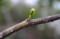 遅れ馳せ、新芽を吹いた「ネムノキ(合歓)」。(29.5.9)