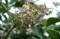 花が散った順に、「結実」を始めた「ニワトコ(接骨木)」。(29.5.9)