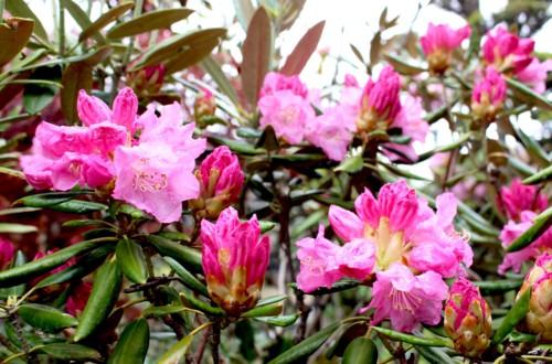 花も、夏バージョンの「シャクナゲ(石楠花)」へ…。(29.5.10)