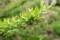 「イボタノキ」の枝先に見える、「花序」。(29.5.10)
