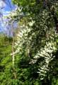 用水わきの山に、「ウワミズザクラ」の白い花。(29.5.10)