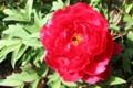 今朝、開いた「ボタン(牡丹)」の花。(29.5.12)