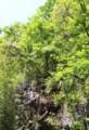 「田切(たぎり)」の崖には、「フジ(藤)」の花が…(29.5.12)