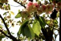 農園入り口に立つ「御衣黄・桜」の花。(29.5.12)