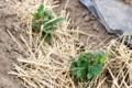 「ジャガイモ」が発芽、一安心。(29.5.129