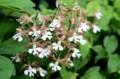 地味だが、「渋さ」が魅力の「地海老根」の花。(29.5.15)