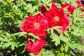 初夏を彩る、百花の王・「ボタン(牡丹)」(29.5.15)