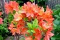 炎のような、朱紅色の「レンゲツツジ(蓮華躑躅)」の花。(29.5.17)