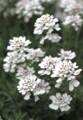 「イベリス・キャンデータフト」の花。(29.5)