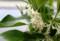 芳香を漂わす「アキグミ(秋茱萸)」の花。(29.5.17)