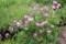 溝の縁に咲く、「レンゲソウ(蓮華草)」の花。(29.5.17)