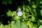 咲き始めた「ワスレナグサ(勿忘草)」。(29.5.18)